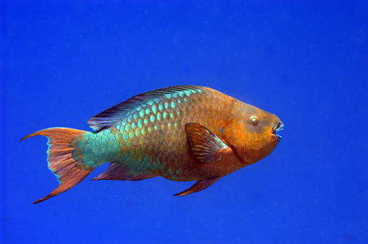 Fish pictures for Rainbow parrot fish