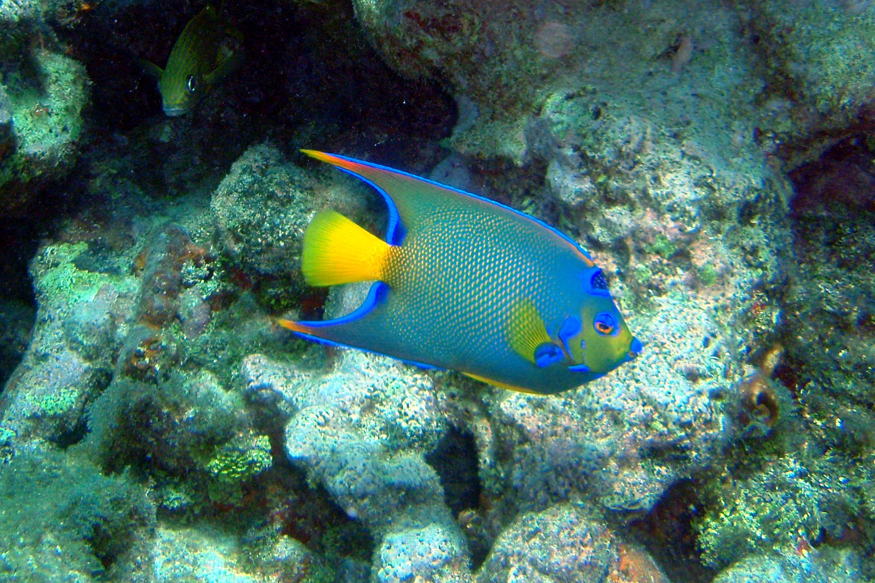Fish pictures for Queen angel fish